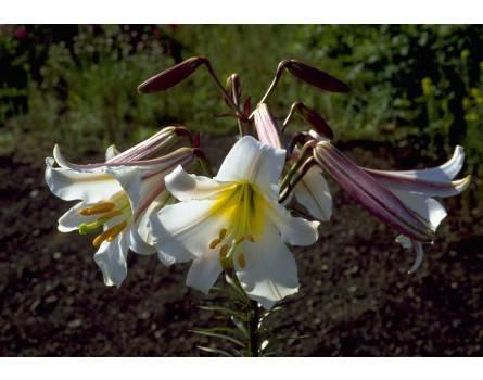 Königslilie (Lilium regale)