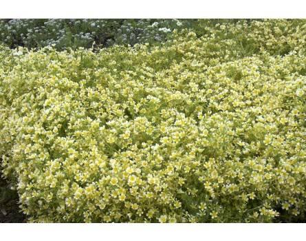 Wiesenschaum (Limnanthes douglasii)