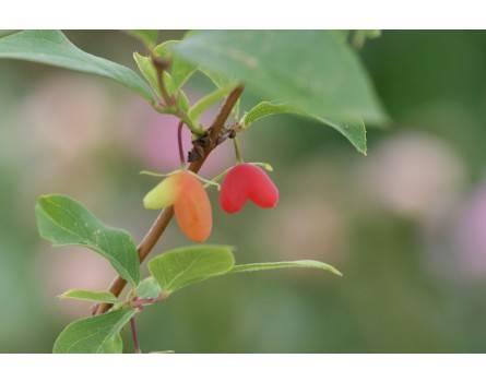 Duftheckenkirsche (Lonicera fragrantissima)