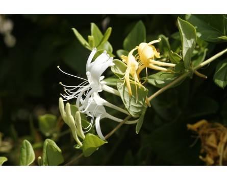 Japanische Geißblatt (Lonicera japonica)
