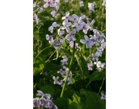 Mondviole / Wildes Silberblatt (Lunaria rediviva)
