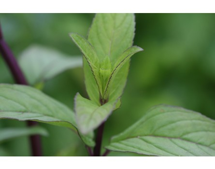 Japanische Ölminze (Mentha arvensis x spicata)