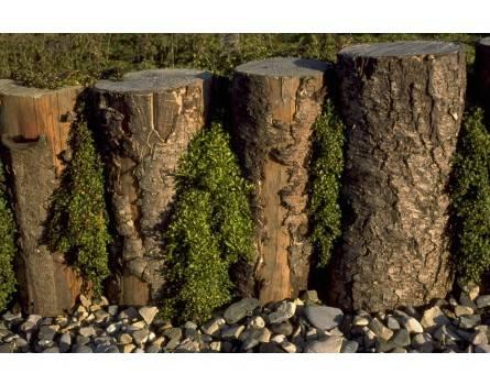 Teppich-Poleiminze (Mentha pulegium ssp. repens)