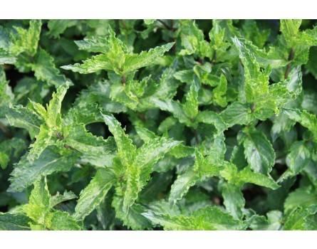 Krause Minze (Mentha spicata)