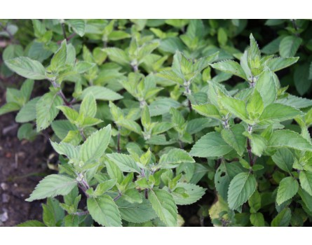 Pfefferminze (Mentha x piperita)