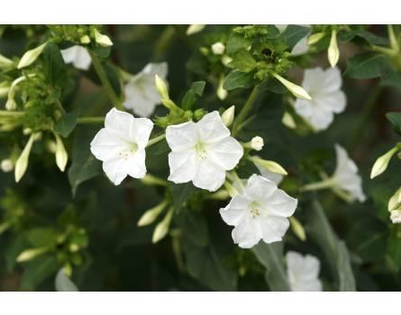 Wunderblume (Bio-Saatgut)