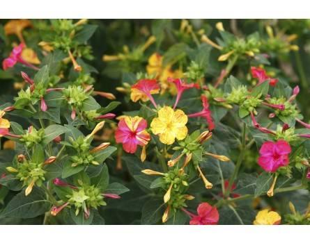"Wunderblumen-Sorte (Mirabilis jalapa ""Ungarische Bunte"")"