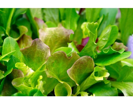 Lactuca sativa (Misticanza Pflücksalat (Saatgut))