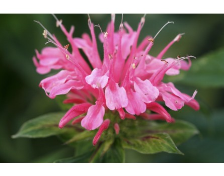 Monarda hybrida 'Pardon my Pink' (Goldmelisse / Indianernessel 'Pardon my Pink')