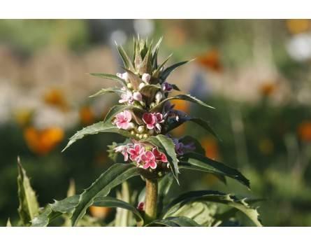 Steppendistel (Morina longifolia)