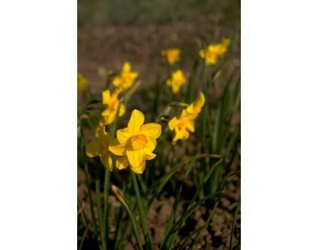 Trevithian, Jonquille (Narcissus jonquilla)