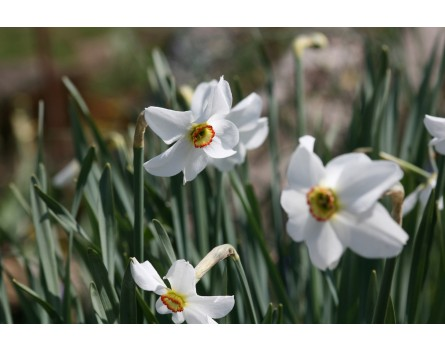 Weiße Narzisse (Narcissus poeticus)