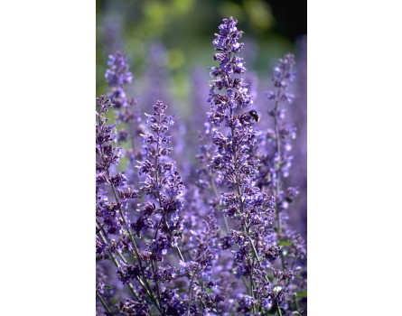 "Katzenminze (Nepeta fassenii ""Walker's Low"")"