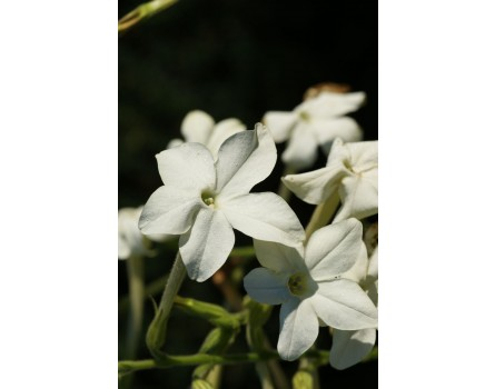 Flügeltabak / Bauerntabak (Nicotiana alata)