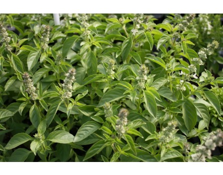 Lemon-Basilikum (Ocimum americanum)