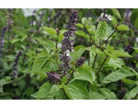 Zimt-Basilikum (Ocimum basilicum 'Cinnamomum')