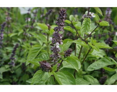 "Basilikum (Ocimum basilicum ""Cinnamomum"")"