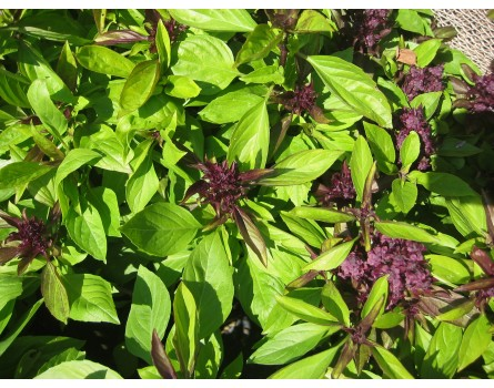 Thailand-Basilikum (Ocimum basilicum 'Thai')