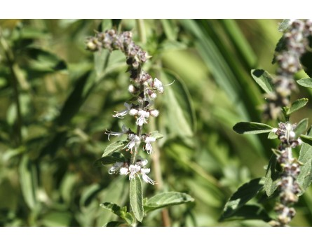 "Basilikum-Sorte (Ocimum Kilimandscharicum x basilicum purpurascens ""African Green"")"