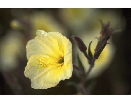 Duftnachtkerze (Oenothera odorata)