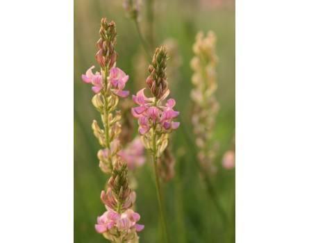 Esparsette, Wildform (Onobrychis viciifolia)
