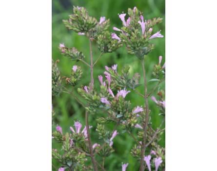 """Blüten-Oregano (Origanum x laevigatum """"Aromatico"""")"""