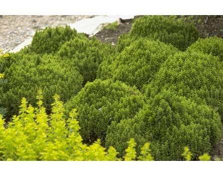 """Oregano-Auslese (Origanum vulgare """"Compactum"""")"""