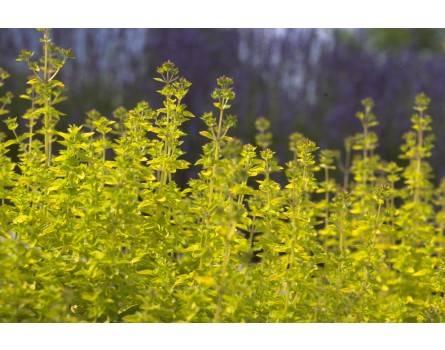 "Oregano-Varietät (Origanum vulgare ""Thumble"")"