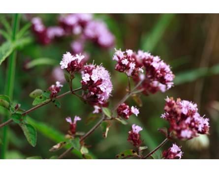 Blütendost (Origanum x laevigatum 'Rosenkuppel')