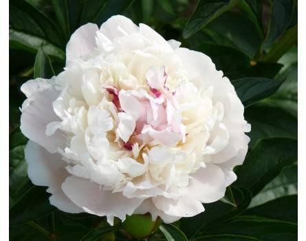 Paeonia lactiflora Madame Leonie Calot