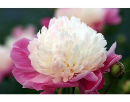 paeonia lactiflora santa fe