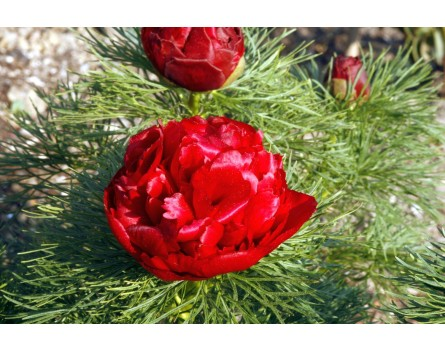 Schmalblättrige Pfingstrose, gefüllt (paeonia tenuifolia plena)