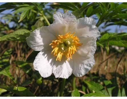 Himalaya-Pfingstrose 'Early Windflower'