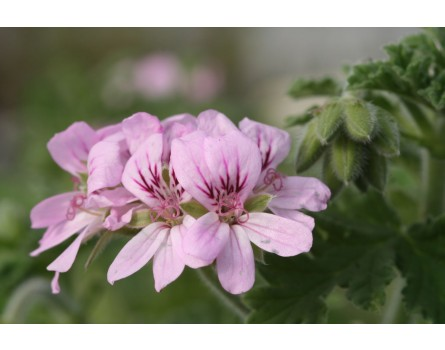 "Pelargonie (Pelargonium capitatum ""Attar of Roses"")"