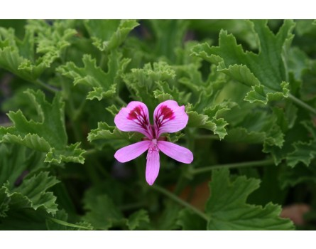 "Pelargonie (Pelargonium crispum ""Lemon Fancy"")"