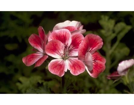 """Pelargonien-Sorte (Pelargonium x unique """"Madame Nonin"""")"""
