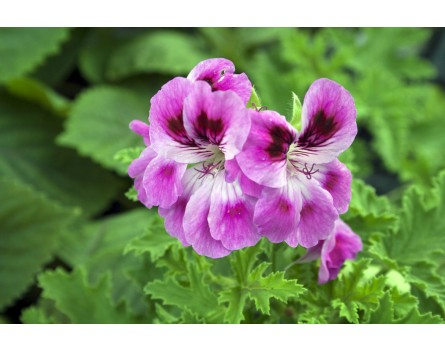 "Duftpelargonie ""Purple Sensation"""