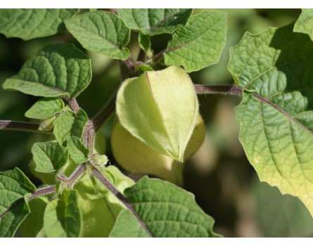 Ananaskirsche (Physalis pruinosa)