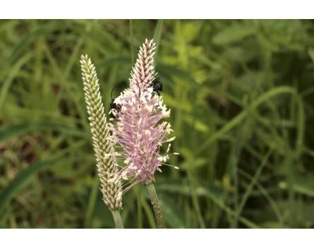 Spitzwegerich, Wildform (Plantago lanceolota)