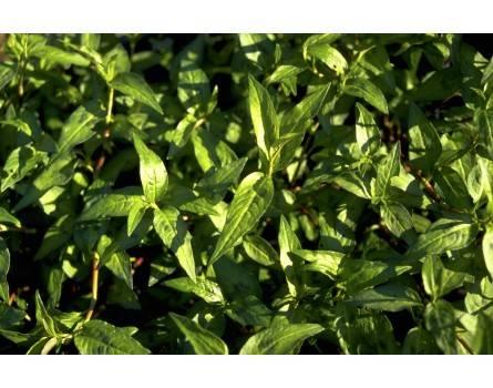 Vietnamesischer Koriander (Polygonum odoratum)