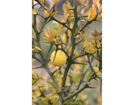 Bitterorange (Poncirus trifoliata)