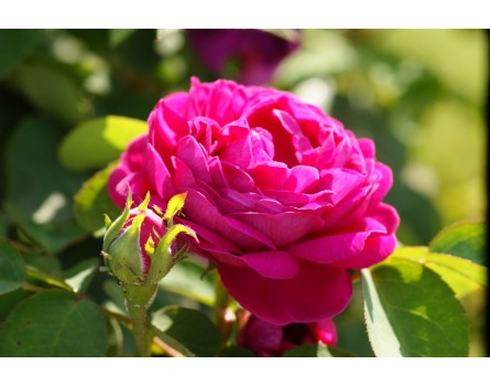 """Rosa damaszena """"Rose de Resht"""" (Rosa damaszena """"Rose de Resht"""")"""