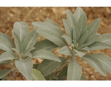 Indianischer Räuchersalbei, Weißer Salbei (Salvia apiana)