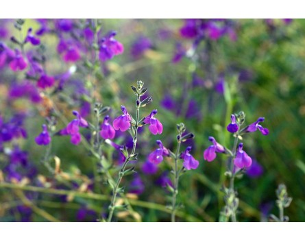 "Pfirsichsalbei ""Aromax Blue"" (Salvia greggii ""Aromax Blue"")"