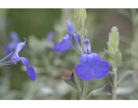 Gamander-Salbei (Salvia chamaedryoides 'Heavenly Blue')