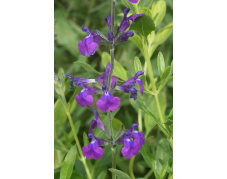 Sierra Madre Salbei (Salvia coahuilensis)