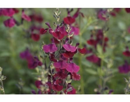 """Pfirsichsalbei (Salvia greggii """"Nachtvlinder"""")"""
