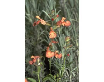 "Pfirsichsalbei (Salvia greggii ""Peach"")"