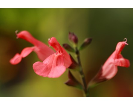 Pfirsichsalbei (Salvia greggii 'Peach')