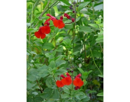 "Pfirsichsalbei ""Royal Bumble"" (Salvia greggii ""Royal Bumble"")"
